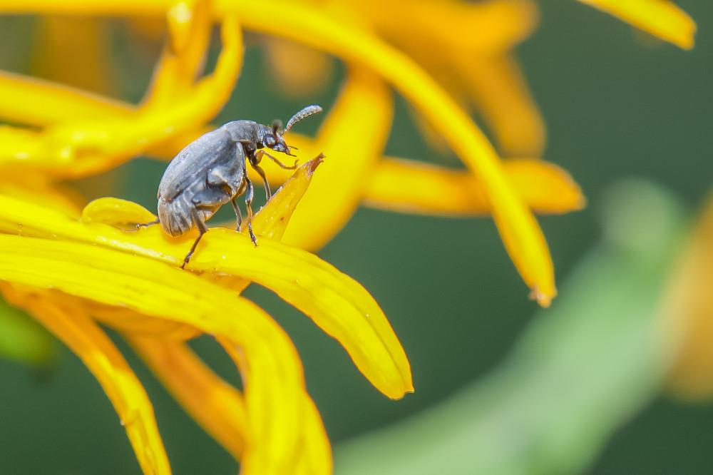 - Alpengarten Bad Aussee Europa Insekt Käfer Salzkammergut Sommer Steiermark Tier gelb Österreich