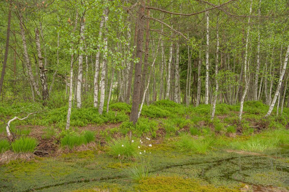 - Baum Ennstal Europa Frühling Holz Jahreszeit Jahreszeiten Natur Pflanze Pürgschachener Moor Pürgschchen Moos Steiermark Wald Österreich