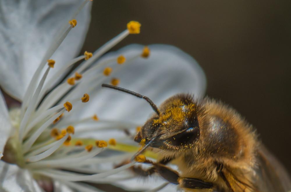 - Biene Blume Dechler Lacke Dunkel Ennstal Europa Gamper Lacke Gewässer Insekt Lacke Liezen Natur Pflanze Steiermark Tier Österreich
