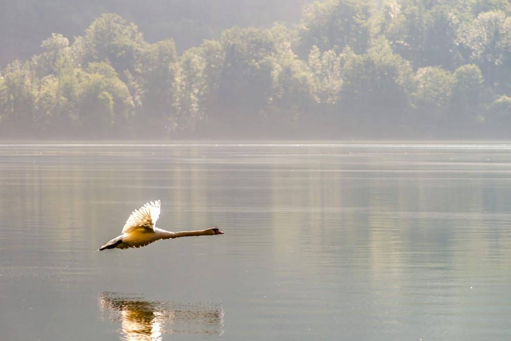 - Cygnus Europa Farblos Hallstatt Hell Kontrastarm Natur Oberösterreich Salzkammergut Schwan See Steiermark Tier Tiere Vogel Vögel Weltkulturerbe Wildlife grau Österreich