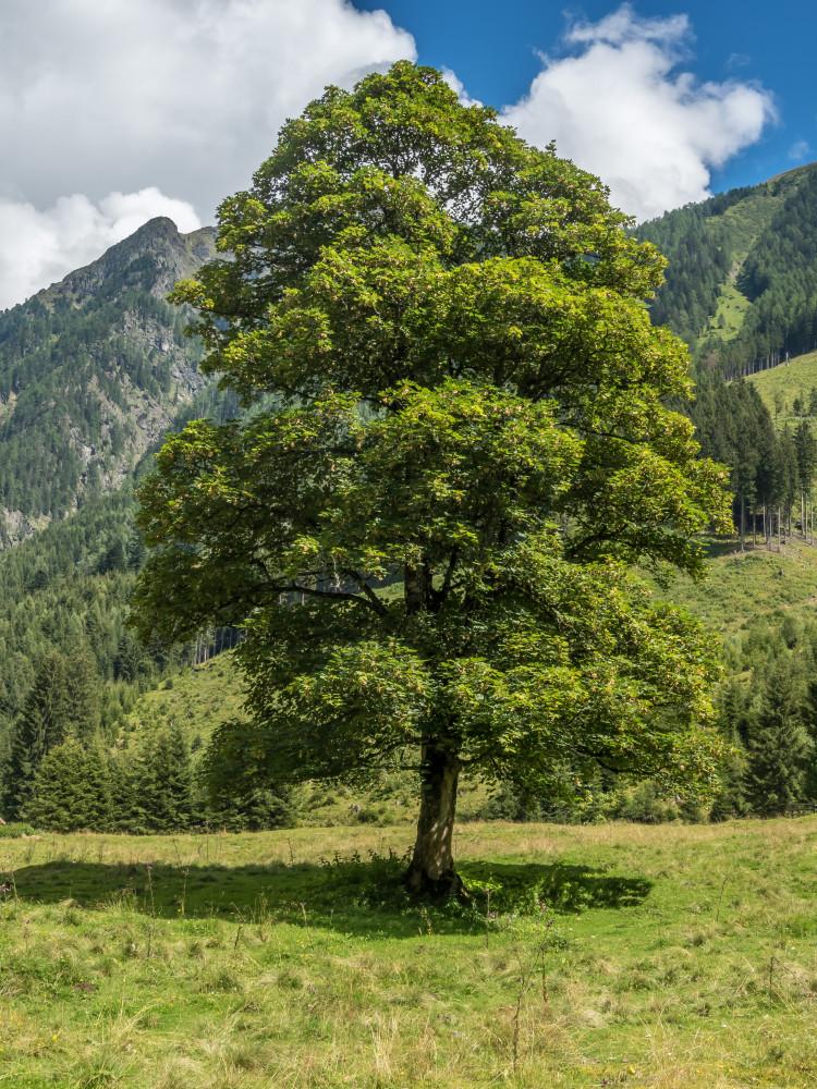 - Ahorn Alm Almen Baum Bäume Europa Gewässer Hochformat Holz Jägeralm Kleinsölk Natur Pflanze Schwarzensee See Steiermark Sölktal Sölktäler Wald Wiese Österreich