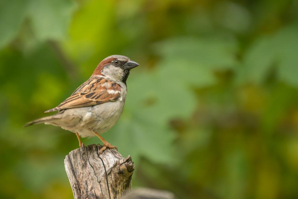 - Grün Passer domesticus Spatz Tier Vogel Wildlife