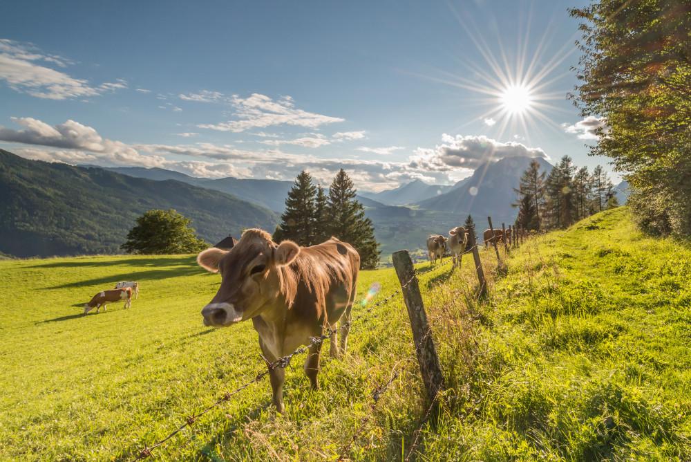 glückliche Kühe in Vorberg - Farmtiere Kuh Landwirtschaft Natur Paarhufer Sommer Tier Tiere Wiederkäuer Wiese