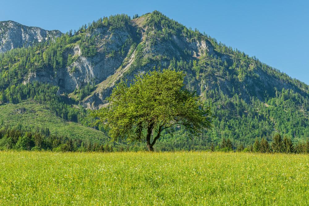 - Ausseerland Baum Berg Europa Grundlsee Gössl Gössler Wiesen Hell Holz Natur Pflanze Salzkammergut Steiermark Wald Wiese Österreich