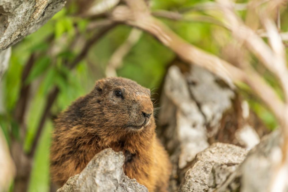 Murmeltier auf der Bachlalm - Alm Almen Alpenmurmeltier Bachlalm Filzmoos Mankei Marmota Marmota marmota Munggen Murmeltier Nagetier Präriehund Tier Wildlife