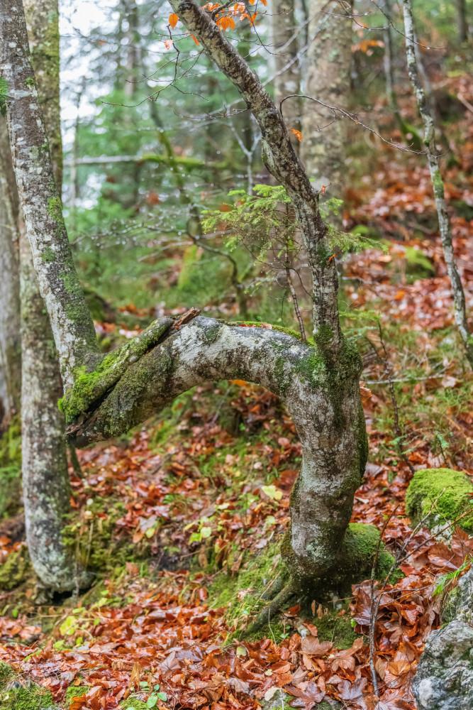 - Ausseerland Baum Bäume Europa Hochformat Holz Natur Pflanze Pflanzen Salzkammergut Steiermark Tauplitz Wald Österreich