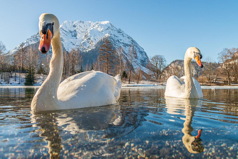 - Berg Ennstal Europa Grimming Grimming-Donnersbachtal Jahreszeit Jahreszeiten Natur Schnee Schwan Steiermark Tier Tiere Trautenfels Vögel Winter grau Österreich