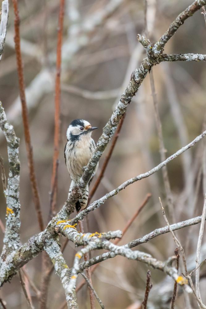 - Buntspecht Dendrocopos major Hochformat Jahreszeit Jahreszeiten Natur Picoides major Specht Tier Tiere Vogel Vögel Wildlife Winter grau