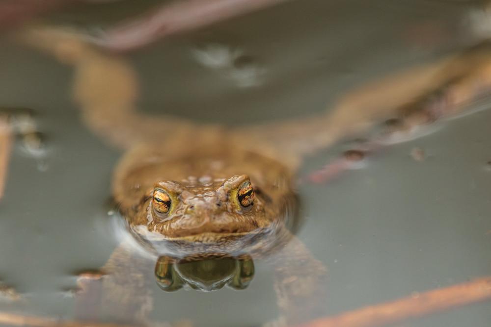 - Amphibie Frosch Frühling Gamper Lacke Gewässer Jahreszeit Jahreszeiten Kröte Lacke Natur Tier Tiere