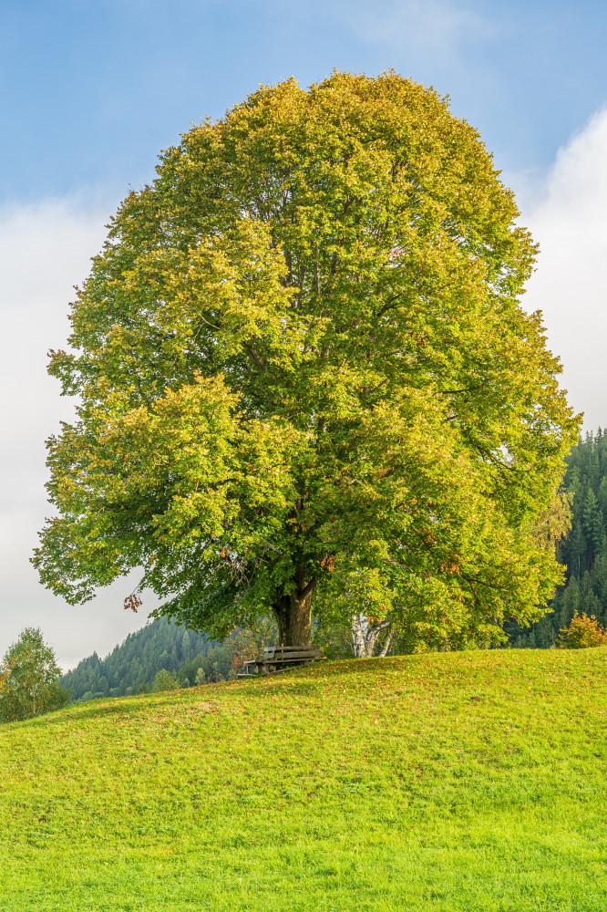 Die Linde am Hochhuberhof - Bauernhof Baum Gegenlicht Grimming-Donnersbachtal Hochformat Hochhuberhof Holz Linde Lindenbaum Natur Pflanze Pflanzen Vorberg Wiese