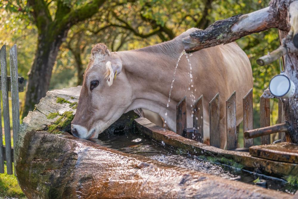 Kuh trinkt aus Brunnen - Aigen im Ennstal Bildeigenschaft Ennstal Europa Hochhuberhof Pferd Pflanzenfresser Steiermark Säugetier Tier Ungesättigt Vorberg grau Österreich