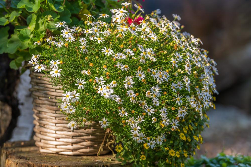 Kuh trinkt aus Brunnen - Aigen im Ennstal Blume Dunkel Ennstal Europa Gänseblümchen Hochhuberhof Natur Pflanze Steiermark Vorberg Österreich