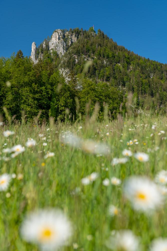 - Ausseerland Bad Aussee Berg Blume Europa Gänseblümchen Leucanthemum Margerite Natur Obertressen Pflanze Salzkammergut Steiermark Tressenstein Wiese Österreich