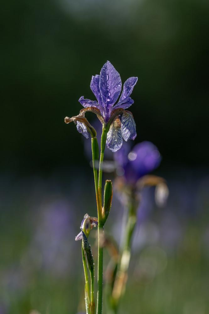 Sibirische Schwertlilie - Blume Blumen Dunkel Iris Iris Sibirica Lilie Lilien Natur Orchidee Pflanze Pflanzen Schwertlilie sibirische Schwertlilie